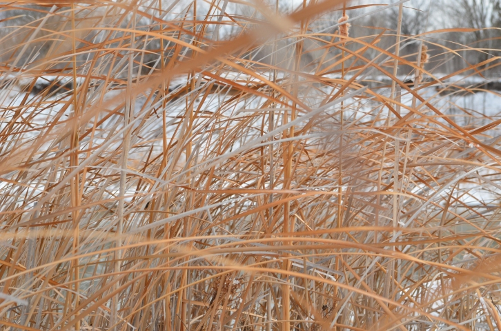 Reeds blowing in the wind at the Spillway Canyon on Tuttle Creek State Park. (Photo by Clay Myers-Bowman)