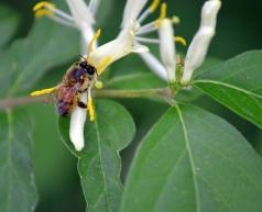 Bees and honeysuckle: great tasting honey!