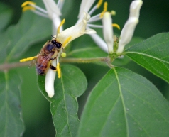 Bees and honeysuckle: great tasting honey!