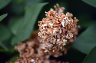 Our white lilacs are wilting. So sad.
