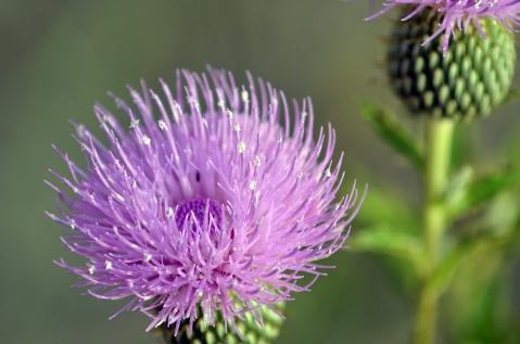 FlowerThistle